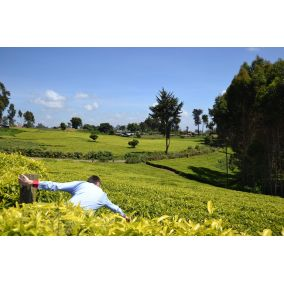 Victoria Green Tea Itumbe...