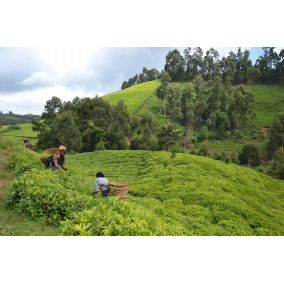 Čaj zelený Victoria Green Itumbe Keňa 50g