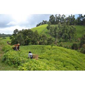 Victoria Green Tea Itumbe Kenya 50g